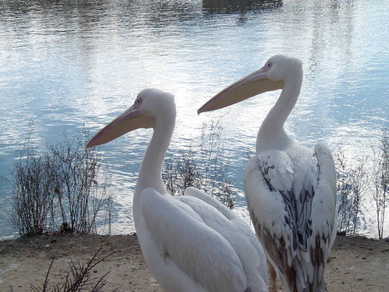 Pelicanos en Faunia (Madrid)