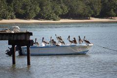 Pelicans at Bucco Bay