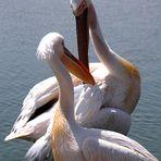 Pelicans in Love