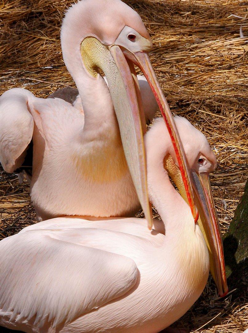 Pelicans love