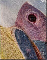 Pelicanus Eye...