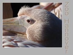 Pelikan #2