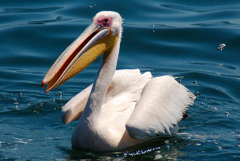 Pelikan ...
