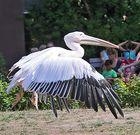 Pelikan -3-