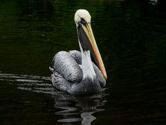 Pelikan, 3