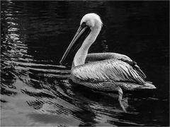 Pelikan, 4