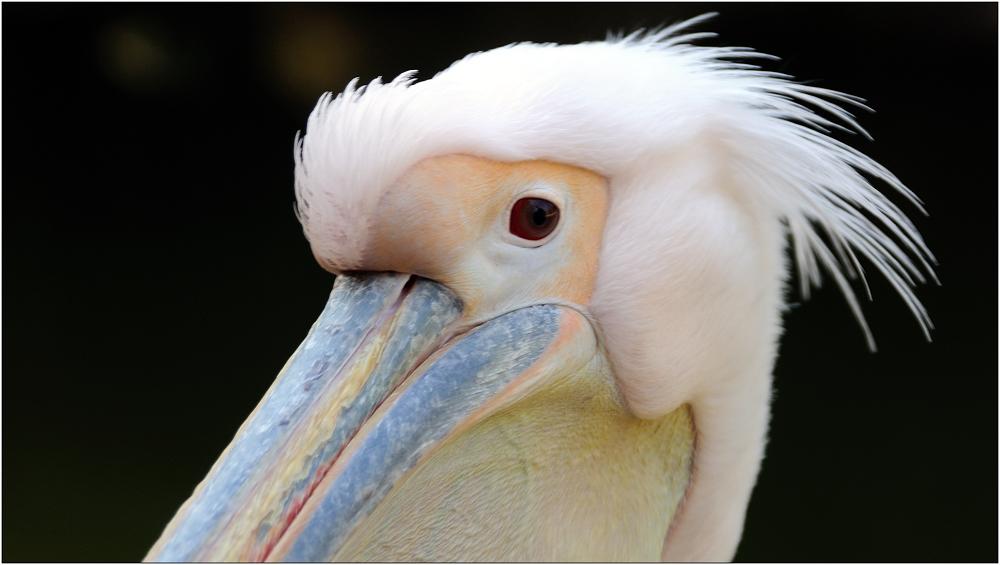 ... Pelikan ...