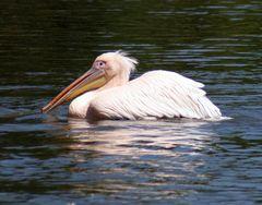 *Pelikan*