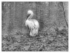 Pelikan am Uferrand