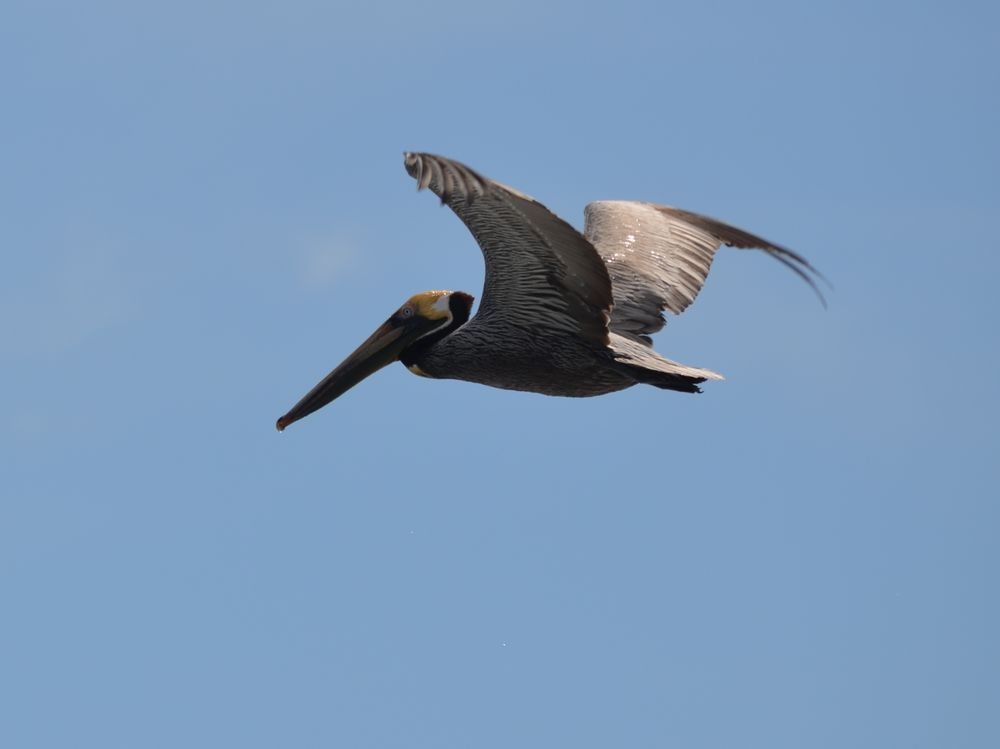 Pelikan auf der Reise