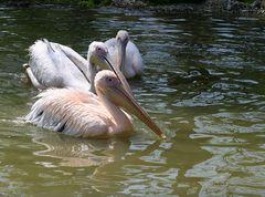 Pelikan-Ausflug