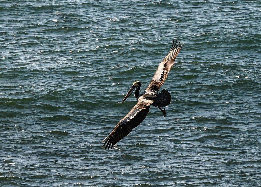 Pelikan , bei Sankt Anon, Chile                     DSC_5698-2