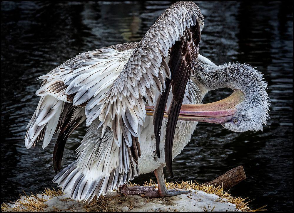 Pelikan beim Reinigen des Gefieders