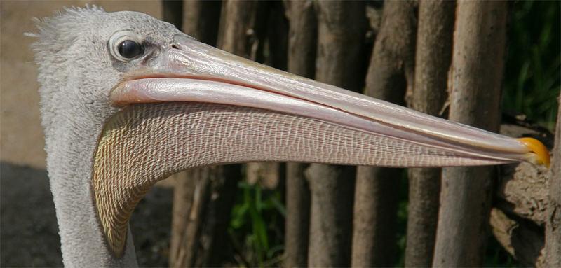 Pelikan beimLidschlag