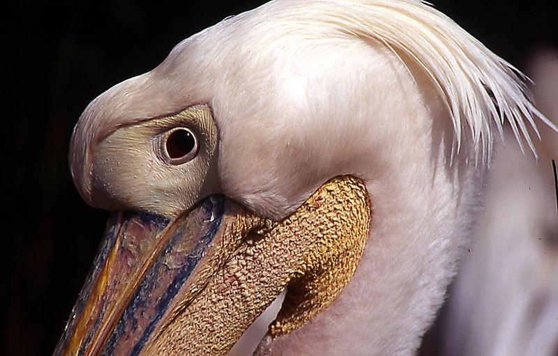 Pelikan-Detail