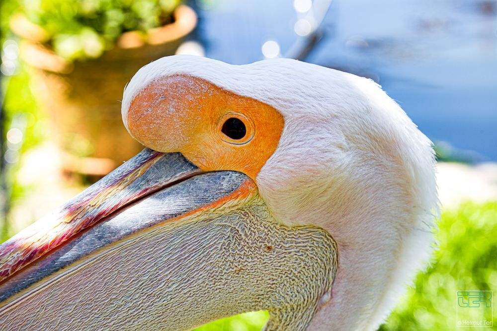 Pelikan ganz nah.