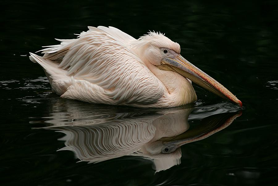 Pelikan-Idyll
