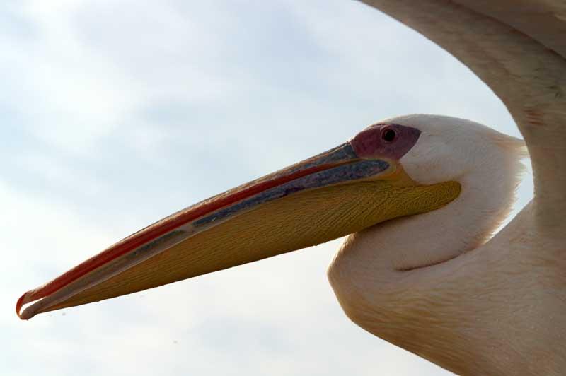 Pelikan im Fluge ....