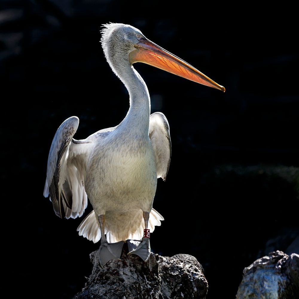Pelikan im Gegenlicht_