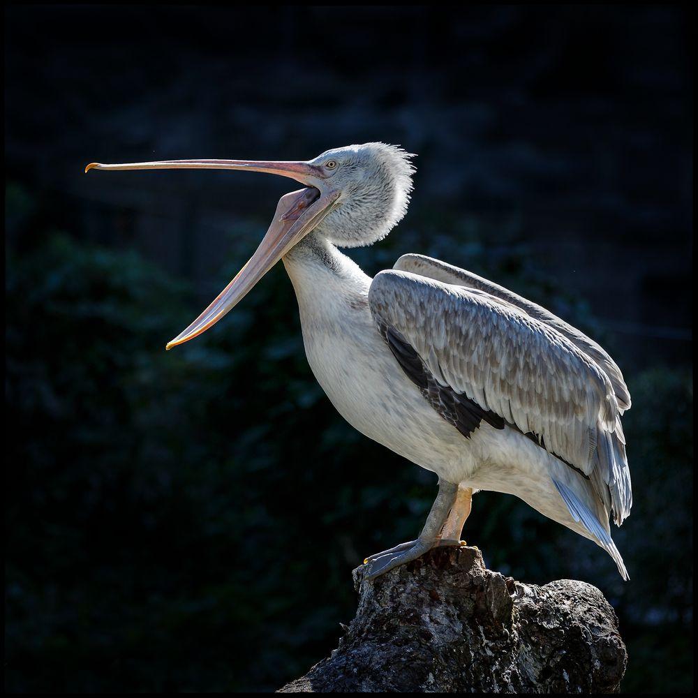 Pelikan im Gegenlicht
