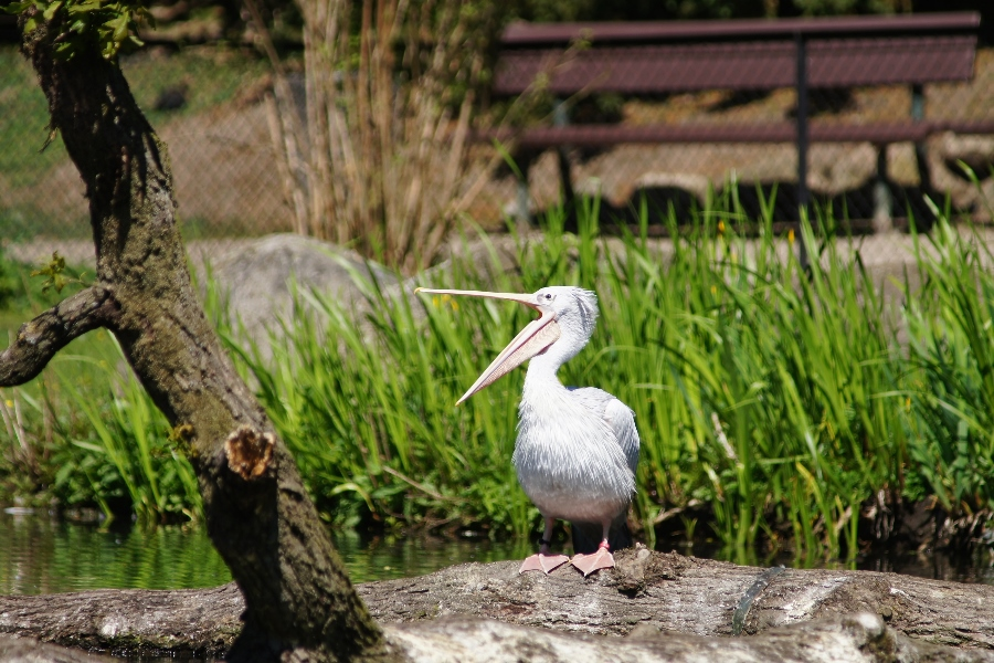 Pelikan im Hamburger Tierpark
