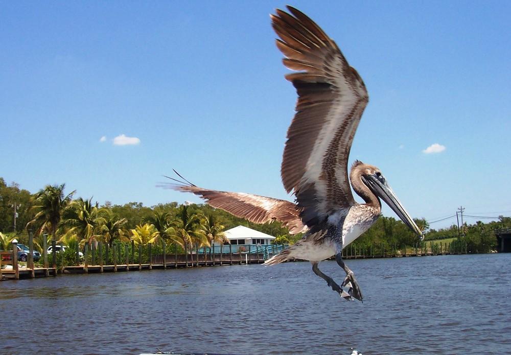 Pelikan im Landeanflug...