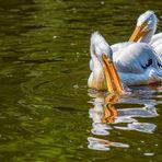 Pelikan im natürlichen Spiegel