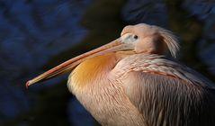 Pelikan im richtigen Licht