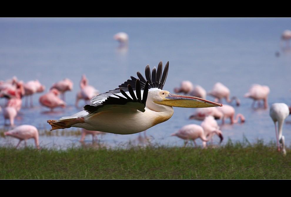 Pelikan im Tiefflug