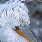 Pelikan im Tierpark