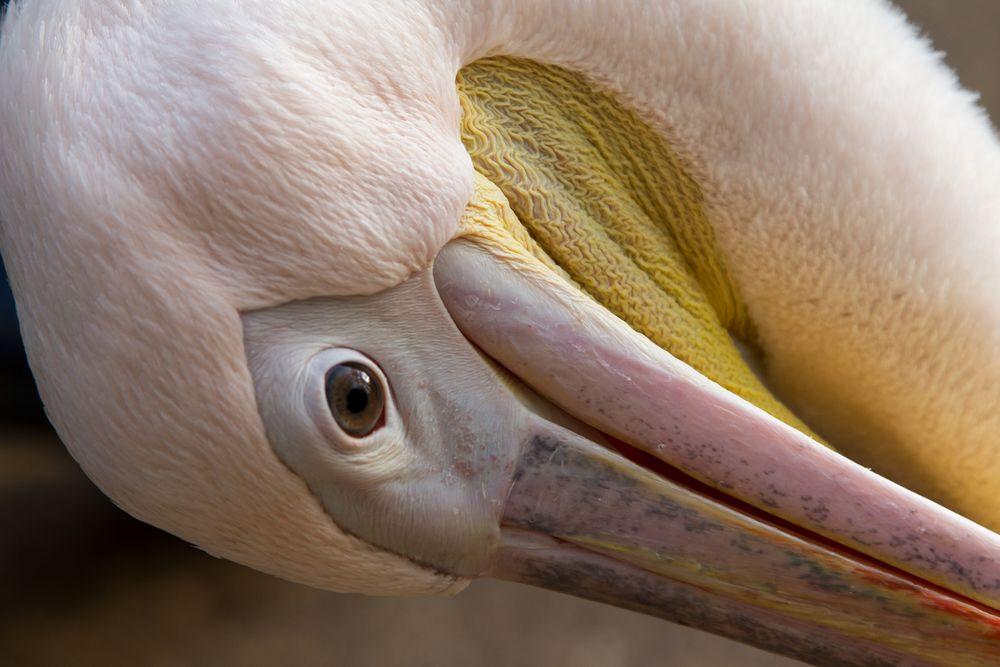 Pelikan im Zoo Hannover #2