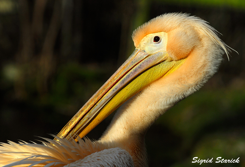 Pelikan in der Wintersonne