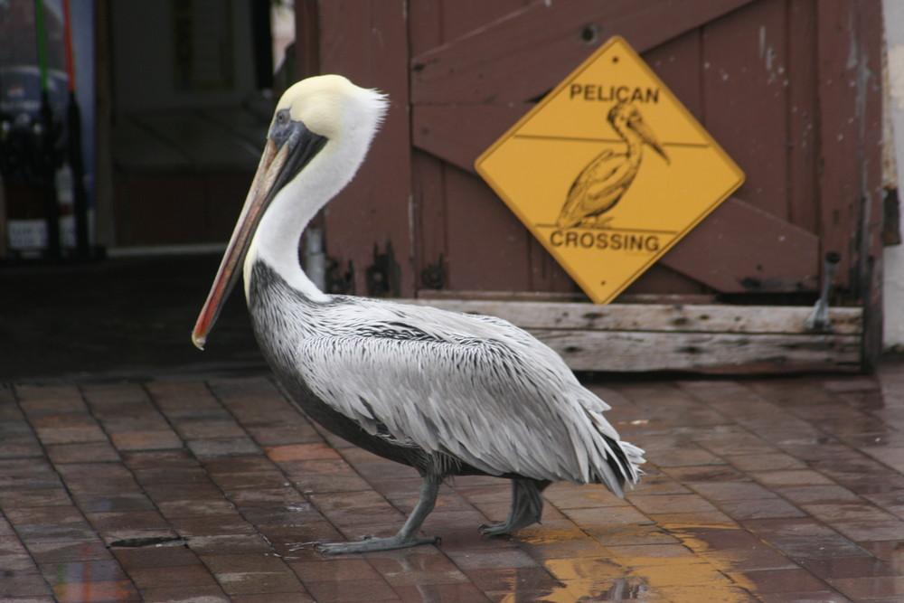 Pelikan is crossing