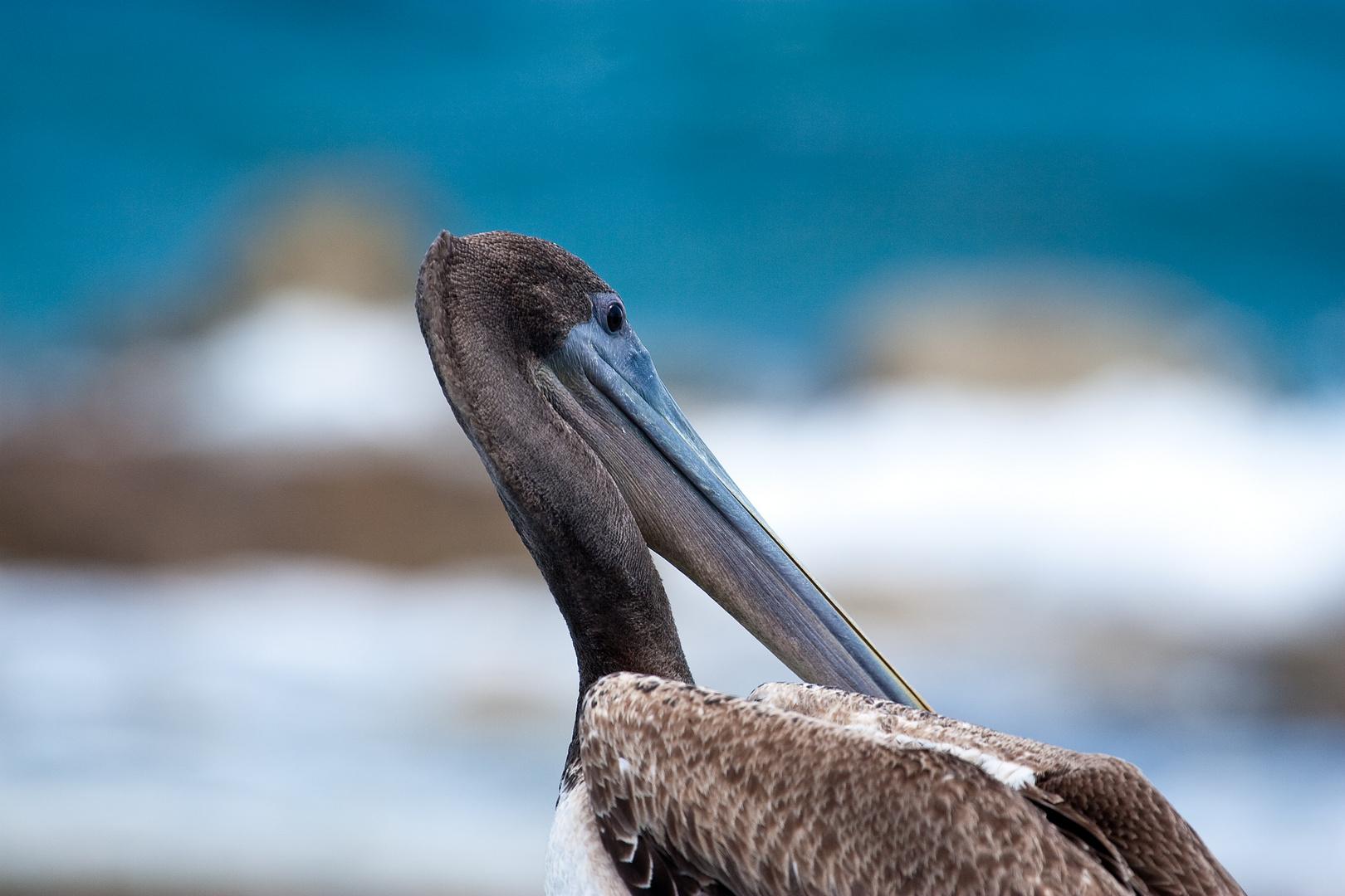 Pelikan kein Ausschnitt