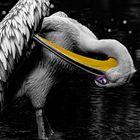 Pelikan -- kopfüber