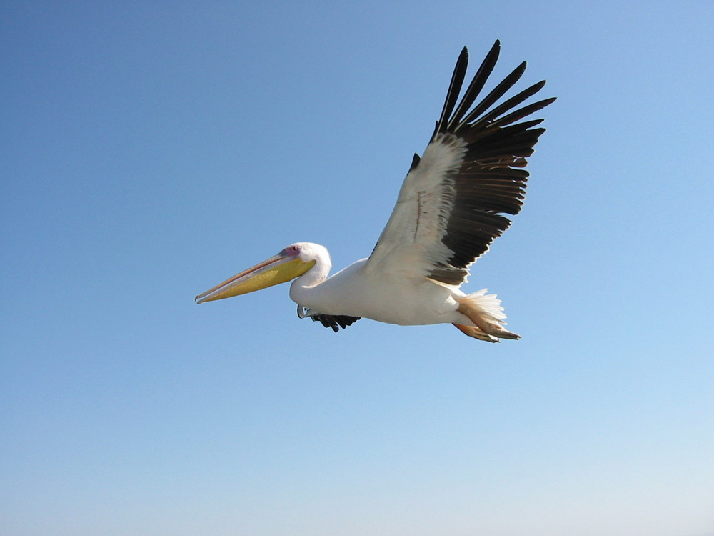 Pelikan mit Fuss und Flügel