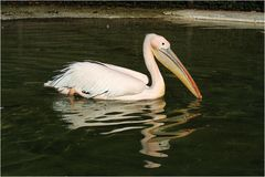 Pelikan mit Spiegelung