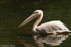 Pelikan mit Spiegelung :-)