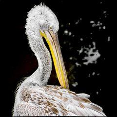Pelikan putz genüsslich seine Federn