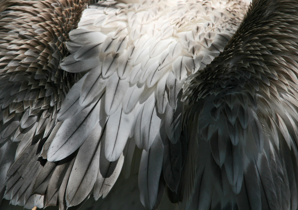 Pelikan-Rücken
