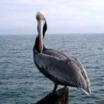 Pelikan Santa Monica