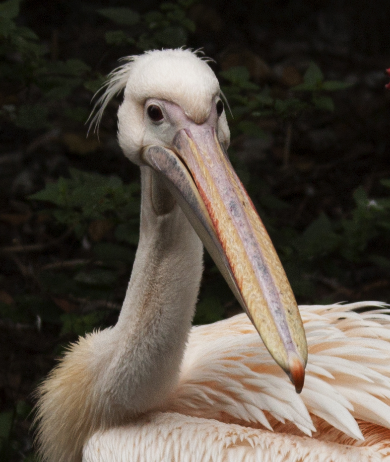 Pelikan-Schönheit