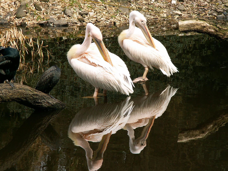 Pelikan Twins im Spiegel des Wassers