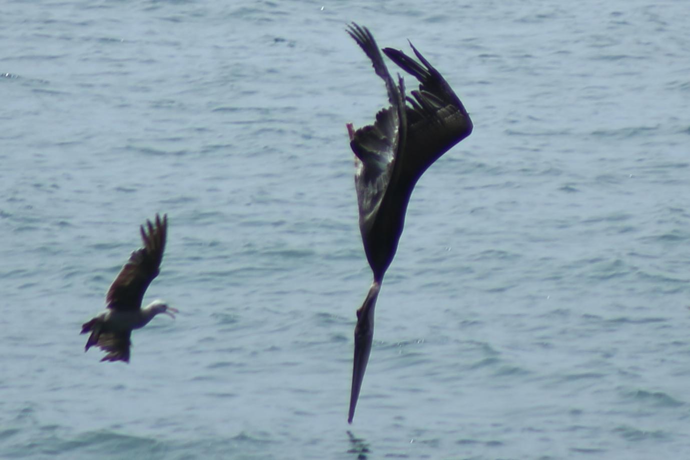 Pelikan und Möwe