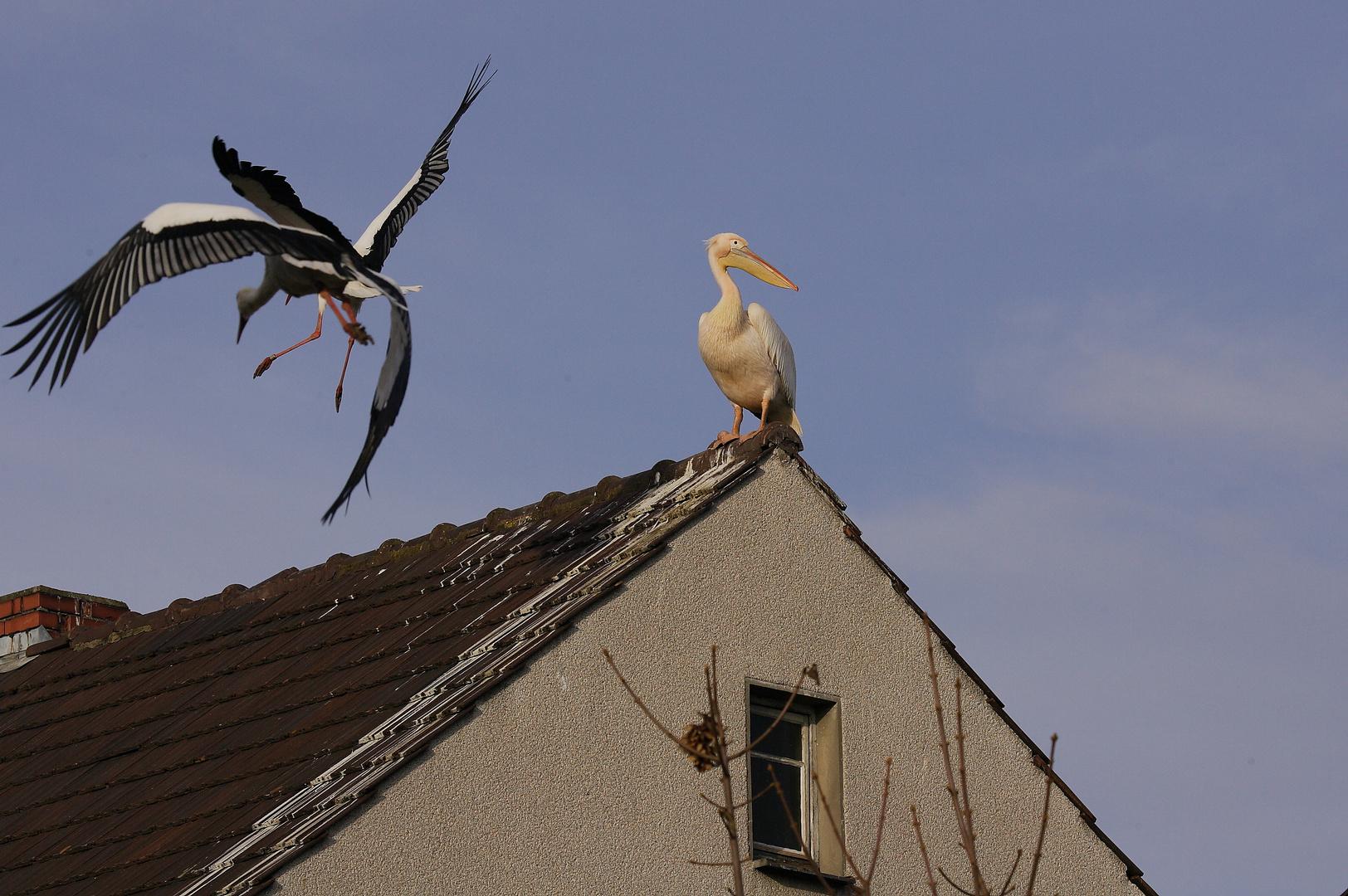 Pelikan und Störche