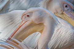 pelikan vorn und hinten