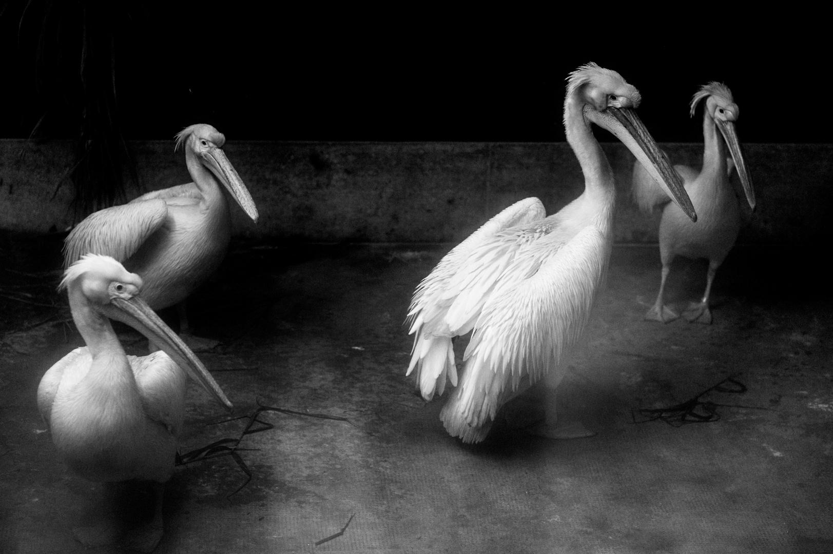 Pelikane #04