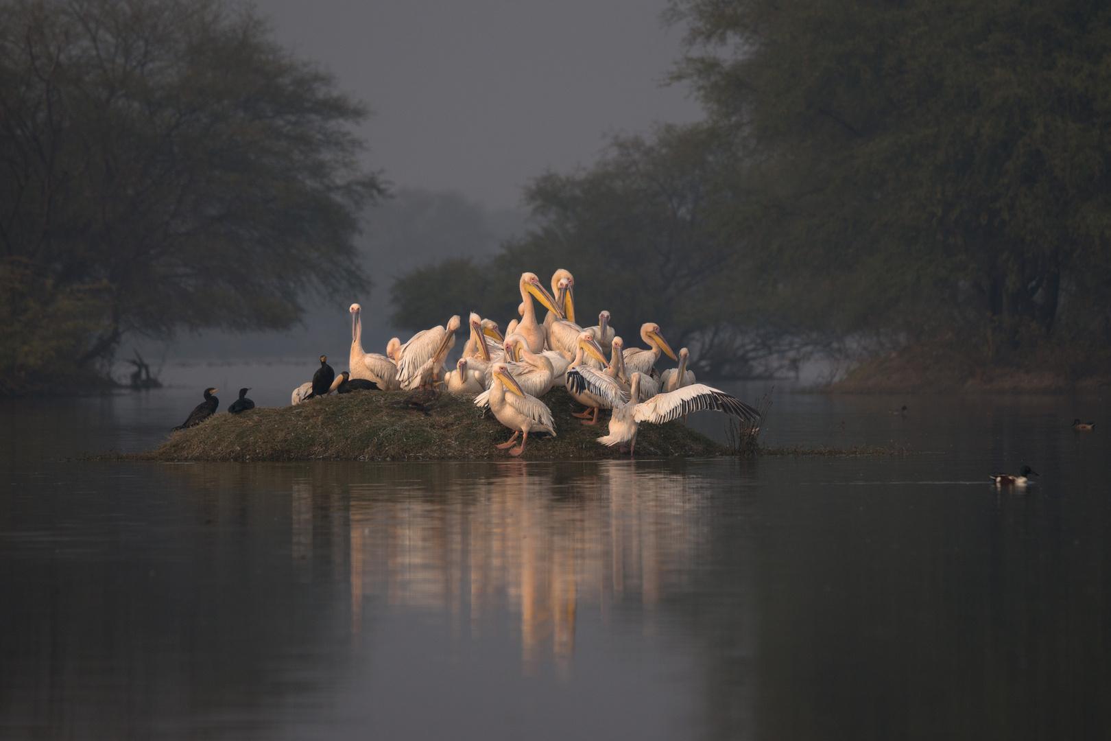 Pelikane-1