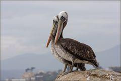 Pelikane..