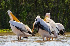 Pelikane...